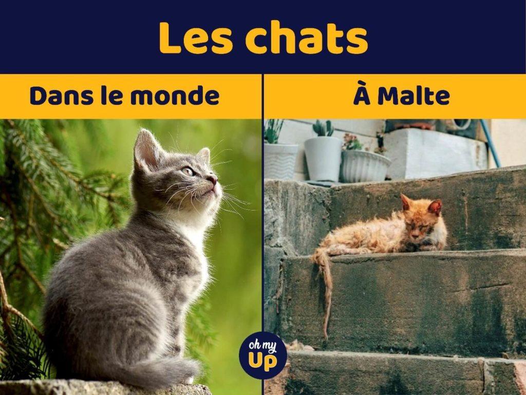 les chats de Malte