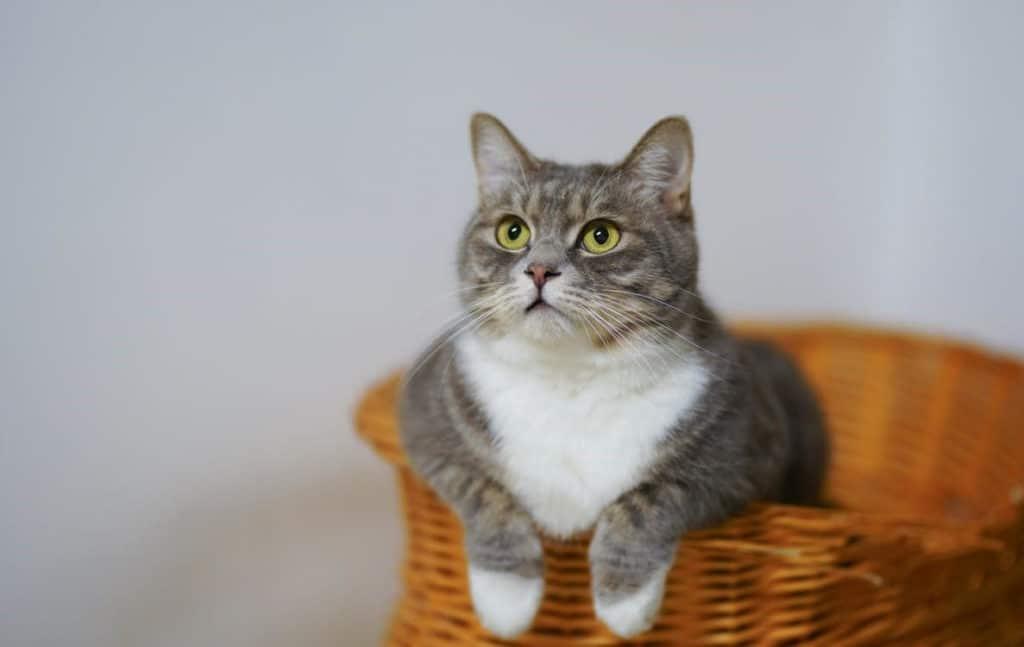 chat dans un panier en osier